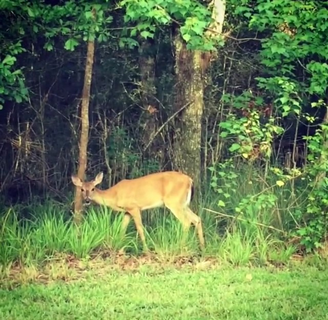 An Adult Deer Peers Out of the Fontainebleau State Park Forest